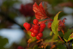 Ripe red Rowan branch. In the forest Royalty Free Stock Photography
