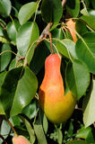 Ripe red side pear on tree Royalty Free Stock Photo