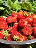 Ripe, red strawberries collected in a metal container Stock Image