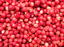 Ripe red strawberries collected in the woods royalty free stock photo
