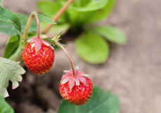 Ripe red strawberries growing field. Garden berry macro view. shallow depth of field, soft selective focus. Ripe red strawberries growing field. Garden berry Royalty Free Stock Photo
