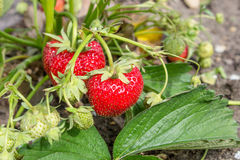 Ripe, red strawberries Stock Photo