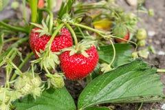Ripe, red strawberries Stock Photo