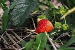 Ripe red strawberry berry grows among green leaves and hay. Food, nutrition, organic royalty free stock image