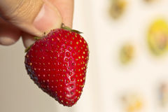 Ripe red strawberry in the fingers of the left hand Royalty Free Stock Photo