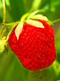 Ripe red strawberry on a garden bad. Stock Photography