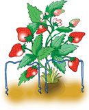 Ripe red strawberry plant. On white background Stock Photography