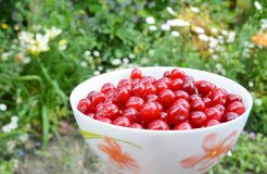 Ripe sweet cherry harvesting. Ripe red sweet cherry harvesting royalty free stock photography