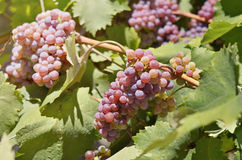 Ripe red table grapes Royalty Free Stock Photo