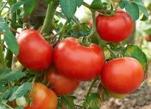 Ripe red tomato Royalty Free Stock Photo