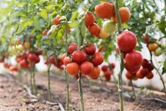 Ripe red tomato in greenhouse garden stock image
