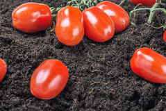 Ripe red tomato on the ground Royalty Free Stock Images