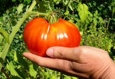 Ripe red tomato stock photography