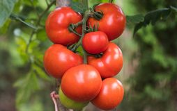 Ripe Red Tomato In Greenhouse Garden Royalty Free Stock Photos