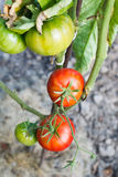 Ripe red tomato plant in garden Royalty Free Stock Photos