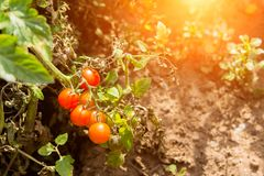 Ripe red tomatoes in autumn stock image
