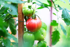 Ripe red tomatoes on plant Royalty Free Stock Photos