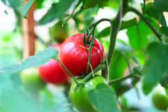Ripe red tomatoes on plant Stock Image