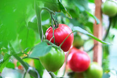 Ripe red tomatoes on plant Stock Photography