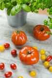 Ripe red tomatoes with potted fresh basil Royalty Free Stock Image