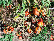 Ripe red tomatoes on wooden stake in garden Royalty Free Stock Images