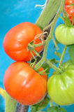 Ripe red and unripe tomatoes Stock Image