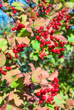 Ripe red viburnum on branch against green leaves Royalty Free Stock Photos