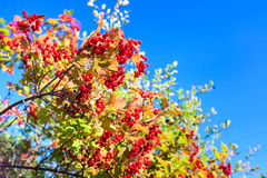 Ripe red viburnum on branch on sky Stock Photos