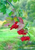 Ripe red viburnum on a bush Royalty Free Stock Images