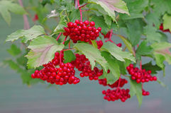 Ripe red viburnum on a bush Stock Photos