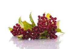 Ripe red viburnum Stock Image