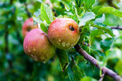 Ripe Red Wild Apples on a Branch Stock Photography