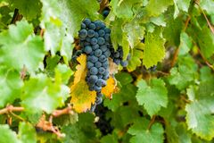 Ripe red wine grape ready to harvest Stock Photo