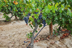 Ripe red wine grape ready to harvest, sandy vineyard in Camargue Royalty Free Stock Photography