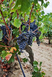 Ripe red wine grape ready to harvest, sandy vineyard in Camargue Stock Images