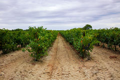 Ripe red wine grape ready to harvest, sandy vineyard in Camargue Stock Photo