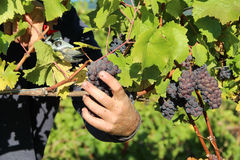 Ripe Red Wine Grapes. Close up of ripe, red wine grapes being harvested Royalty Free Stock Images