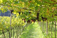Ripe red wine Grapes in Italy Royalty Free Stock Photography