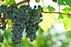 Ripe red wine grapes right before harvest Stock Images