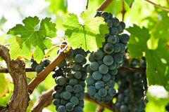 Ripe red wine grapes right before harvest Royalty Free Stock Photos