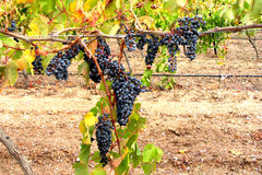 Ripe red wine graps.1 Royalty Free Stock Image