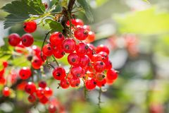 Ripe redcurrant berries on the bush on a clear, sunny day_ stock images