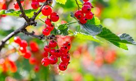 Ripe redcurrant berries on the bush on a clear, sunny day_ stock image