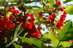 Free Ripe Redcurrants On A Bush In The Garden On A Sunny Morning, Close-up. Red Currants Glowing In The Backlight Of The Sun Stock Photos - 202426573