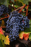 Ripe Reds. Red wine grapes just before harvest Royalty Free Stock Photography