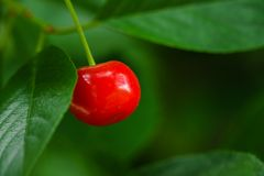 Single cherry fruit on the branch close take stock photo