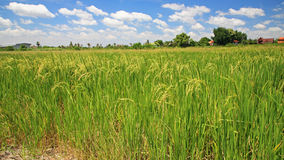 Ripe rice farm against blue sky Royalty Free Stock Photography