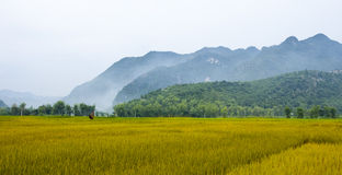 Ripe Rice Field Stock Photo