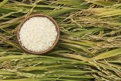 Ripe rice Stock Image