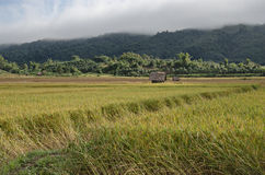 Ripe rice field Royalty Free Stock Photography